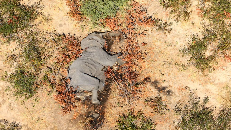 Fin del misterio: ya se conoce por qué murieron 330 elefantes en Botsuana