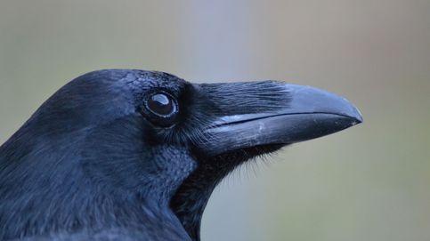 Los cuervos poseen la 'teoría de la mente': saben cuándo los espían
