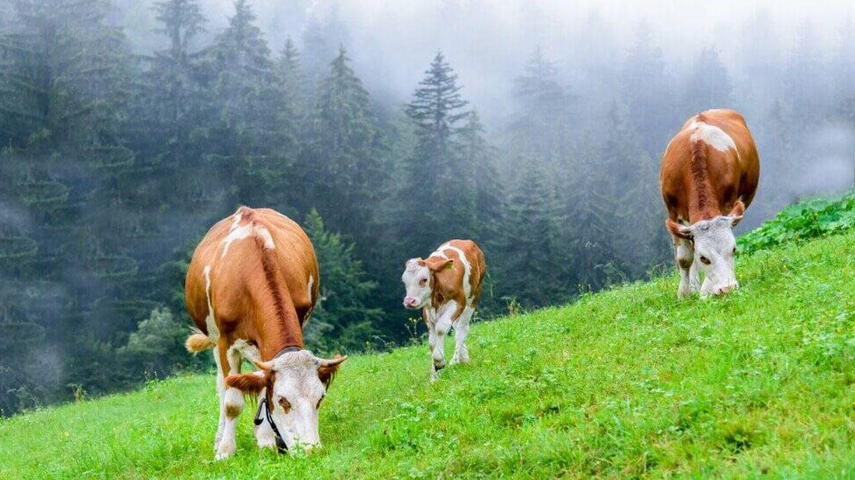 Vacas pastando en Galicia.