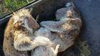 La tala para evitar los incendios amenaza a los koalas