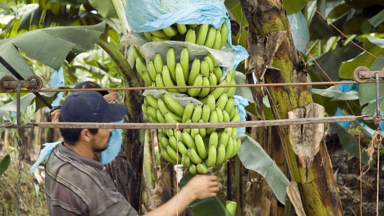 Plantación de plátanos. (iStock)