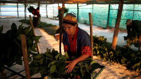 Cambiar el opio por los gusanos de seda