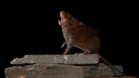 Estudian a ratones cantantes para desvelar las bases cerebrales del tertulianismo político