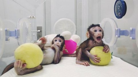 Los 'padres' de la oveja Dolly: Clonar monos no tiene justificación científica