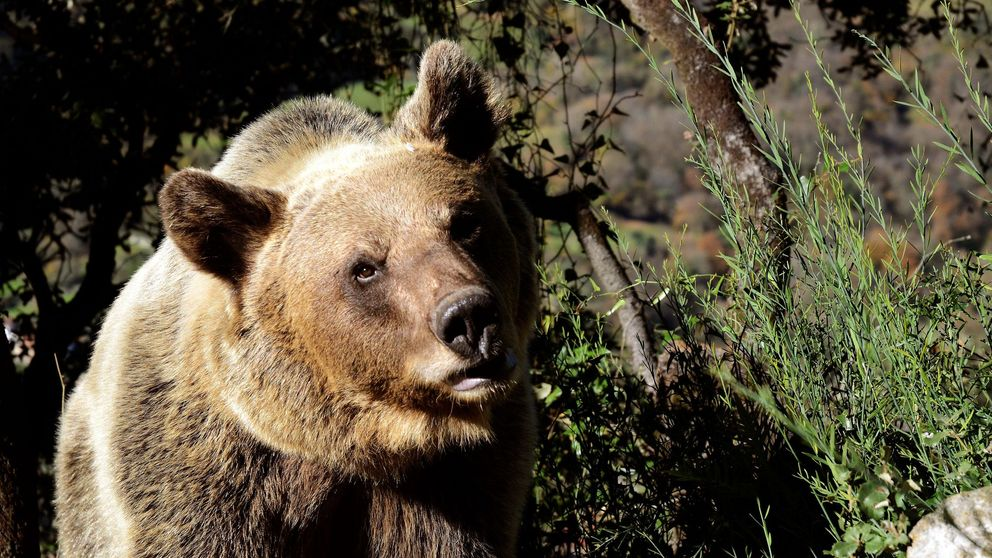 Un hombre sobrevive un mes en la cueva de un oso: la última mentira que es viral