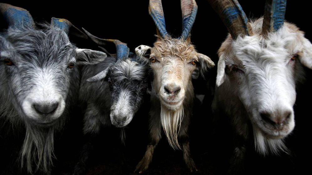 Foto: Cabras nepalíes. (Reuters)
