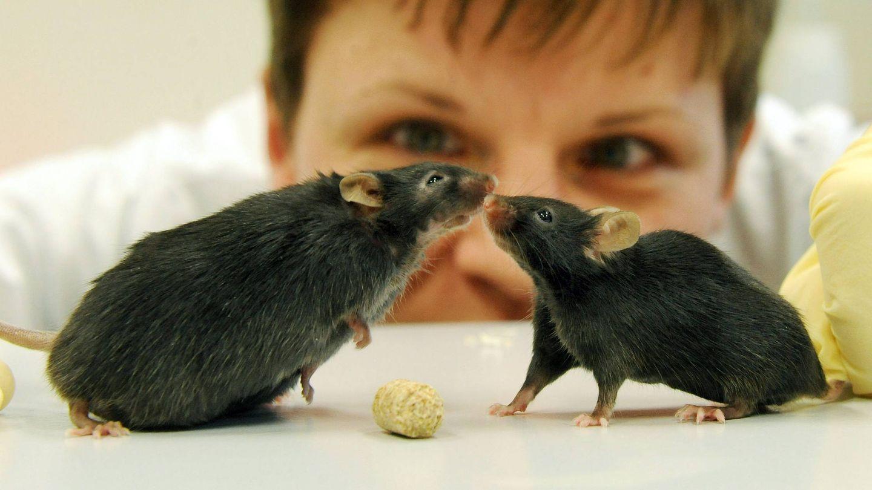 Para comprobar la eficacia de este inhibidor, los expertos investigaron su efecto en la zona plantar de diferentes ratones de laboratorio. (Foto: EFE)