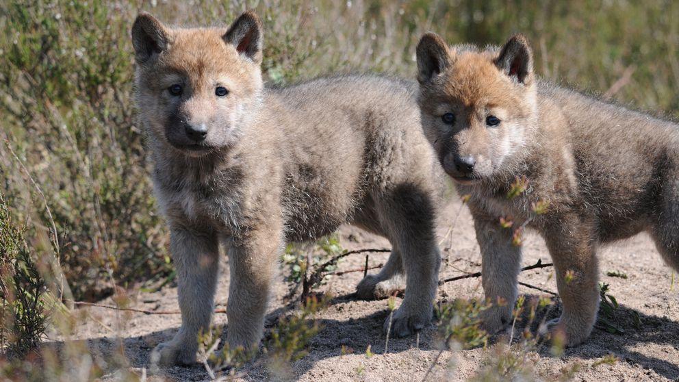 Linces, lobos y osos se recuperan en Europa tras años de extinción