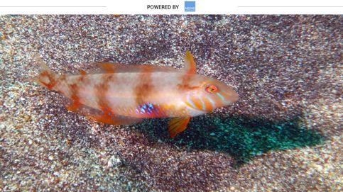 Pejepeine, el pez 'loro' que vive bajo las arenas marítimas