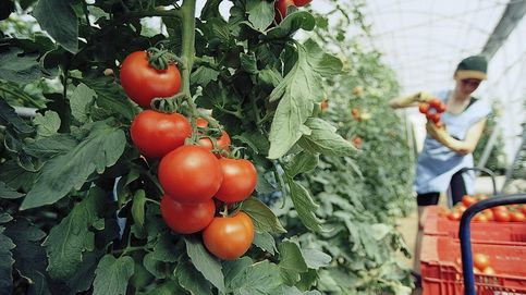 Los Soria, una familia tomatera sin raigambre en Canarias