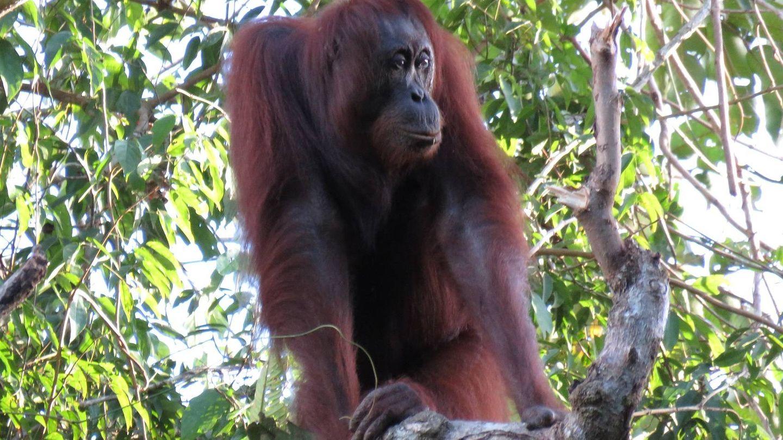 Un orangután de Borneo, en su habitat (Current Biology)