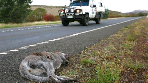 Tasmania, el área del mundo más mortífera para la fauna