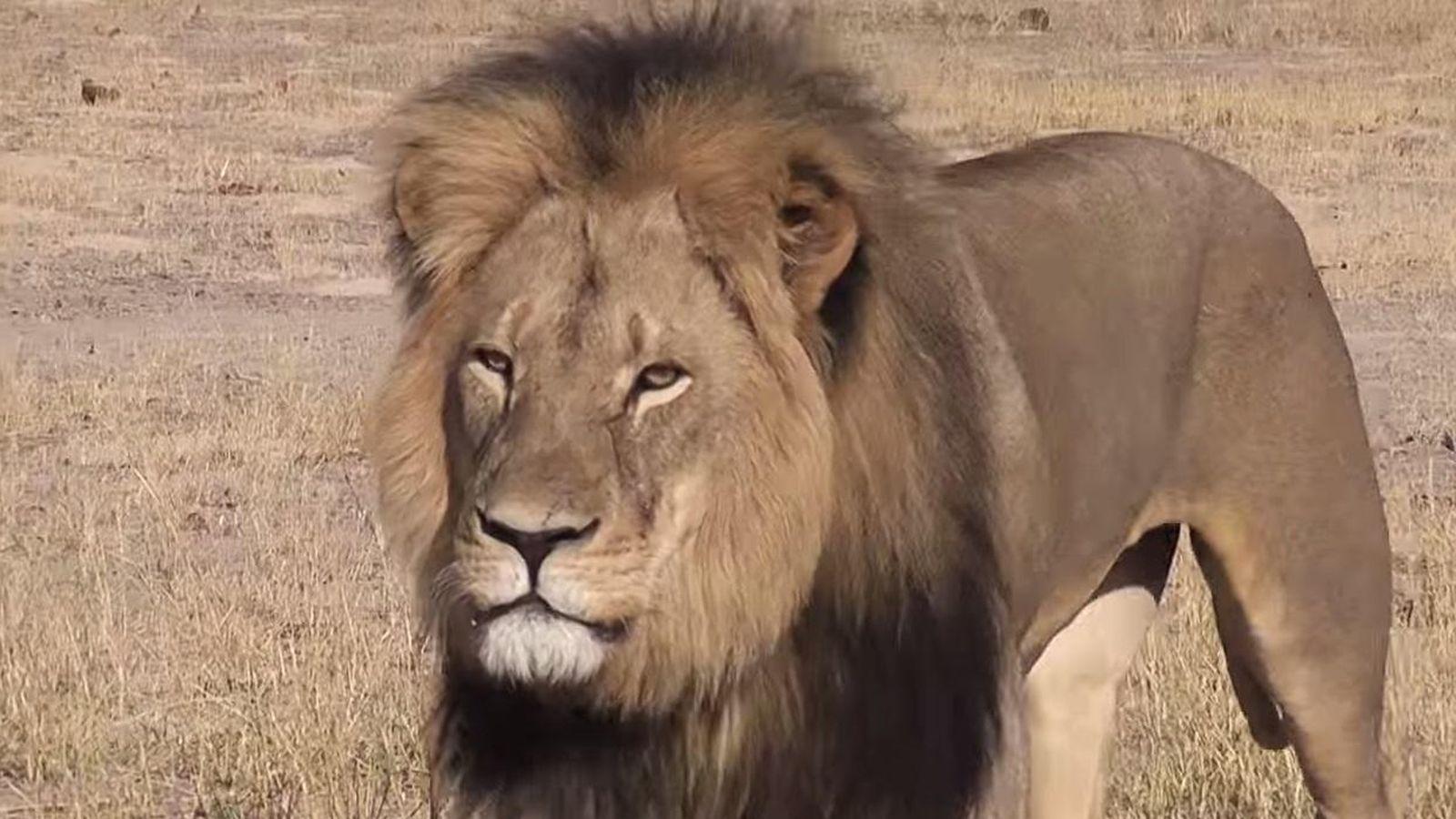 Foto: El león Cecil, cazado con arco y flechas en Zimbabue