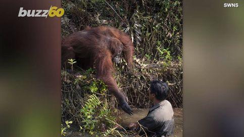 Un orangután intenta ayudar a un hombre al pensar que estaba atrapado