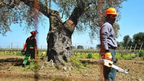 Los agricultores exigen ya que se fijen indemnizaciones por el 'ébola del olivo'