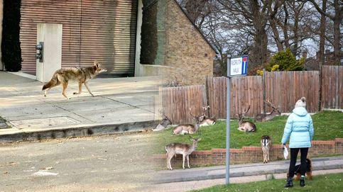 Jabalíes, corzos y osos por la ciudad... Los animales se 'mudan' en plena cuarentena