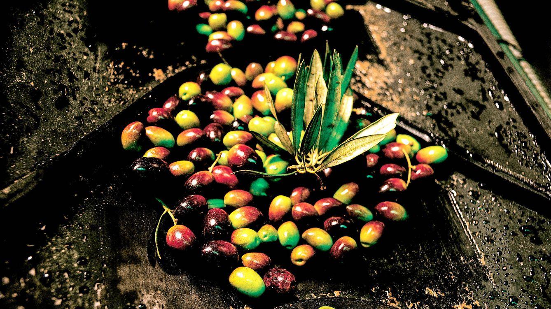Foto: A lo largo de los siglos, las olivas han acabado convirtiéndose en patrimonio gastronómico español.