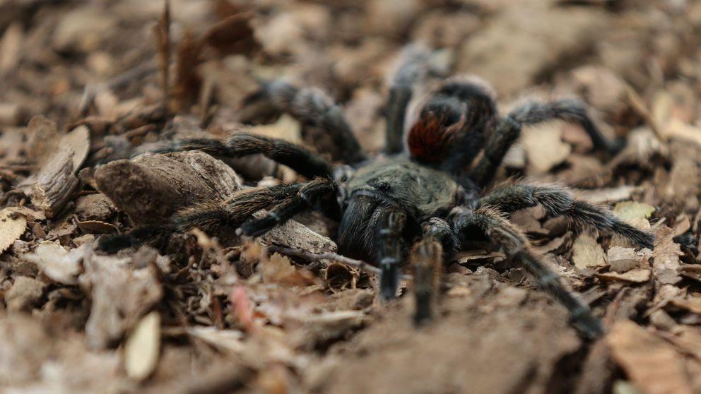 Una araña se come una zarigüeya colgando de la pared en un hotel