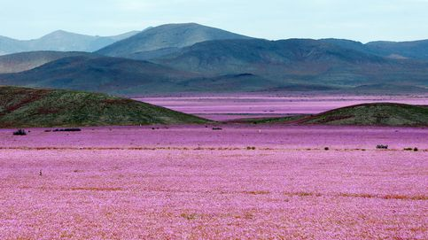 Atacama, el lugar más árido del planeta, transformado en una alfombra de flores
