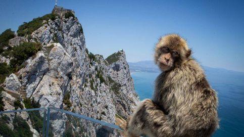 Gibraltar impone multas de 4.400 euros para proteger a sus sagrados macacos del covid-19