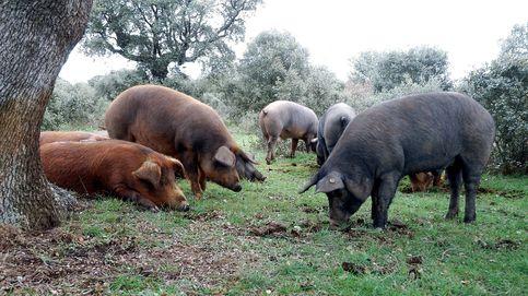 El lamento del ibérico: España es la que permitió sacar al cerdo de la dehesa