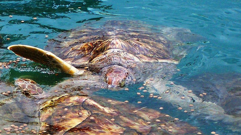 Tortuga en la Turtle Farm de las Islas Caimán (CC)