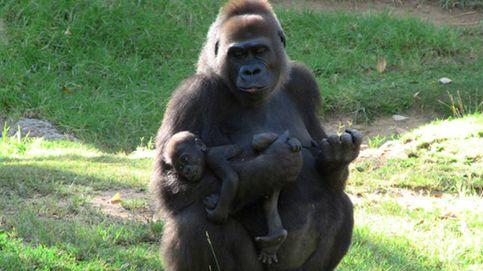 La acción protectora de esta madre gorila tiene en vilo a un zoo de Bélgica
