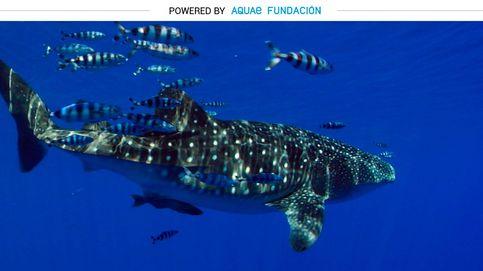 El tiburón ballena campa a sus anchas en la isla de El Hierro