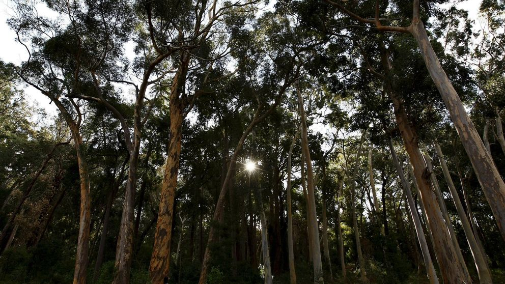Los últimos amigos del eucalipto gallego: Gustará o no, pero no es justo demonizarlo