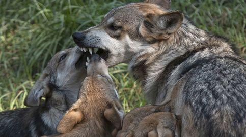 El 'lobo fantasma', la especie extinta hace un siglo que creen haber visto en Japón