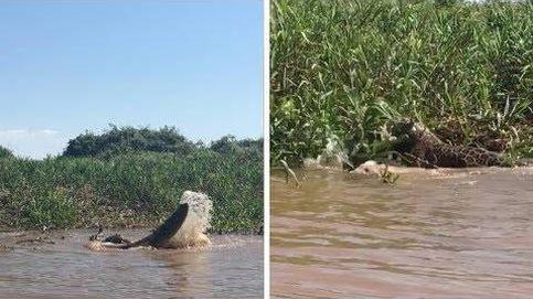 Un jaguar y un caimán protagonizan una brutal pelea en Brasil