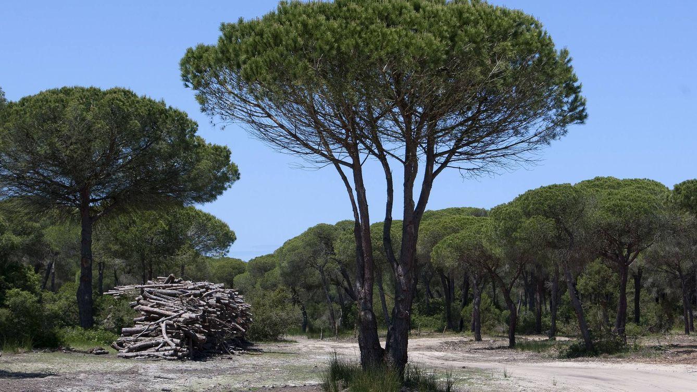 Foto: Vista del pinar intensivo de Las Marismillas, al sur del Espacio Natural de Doñana. (EFE)
