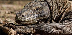 Post de Komodo cerrará la isla a los turistas porque les están robando sus dragones