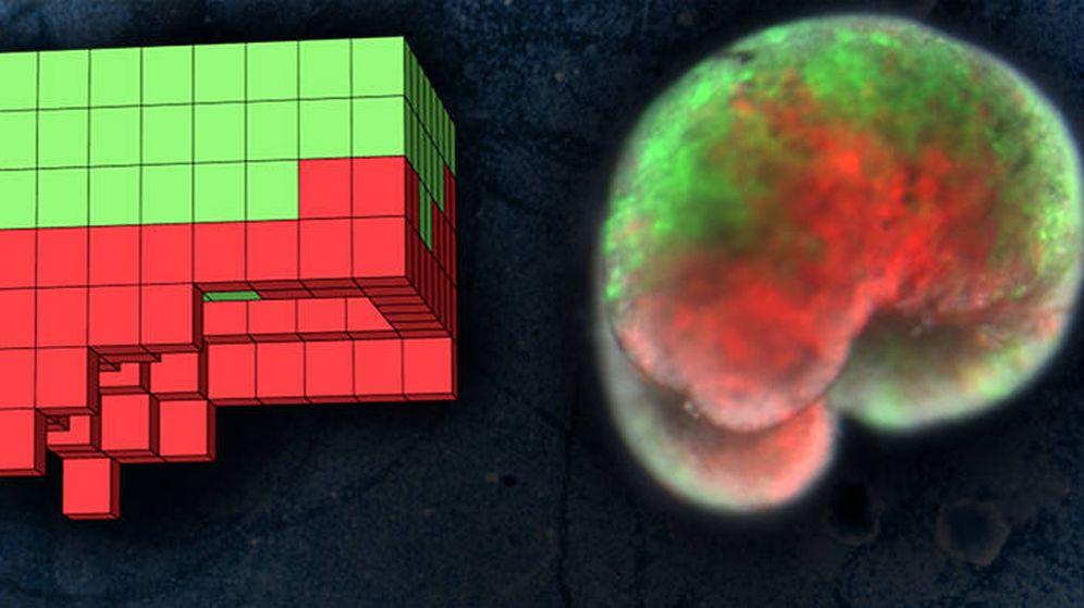 Foto: A la izquierda, el plano anatómico para un organismo diseñado por supercomputadora. A la derecha, el organismo vivo, construido enteramente a partir de piel de rana (verde) y células del músculo del corazón (rojo). Foto: Universidad de Vermont
