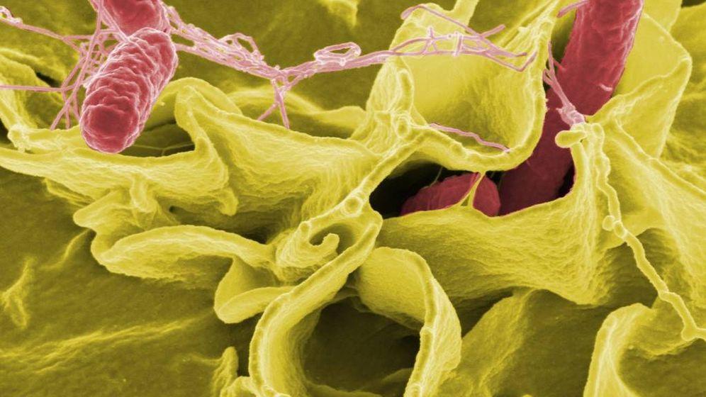 Foto: Bacteria de salmonela.