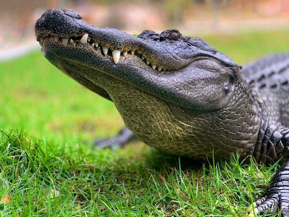 Foto: Varios internautas han señalado el peligro de la presencia de estos animales no muy lejos de lugares habitados por personas (Unsplash)