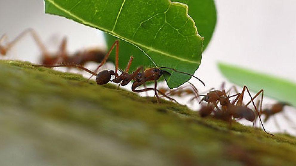 Las lecciones que las hormigas pueden dar a los ingenieros de 'teleco'
