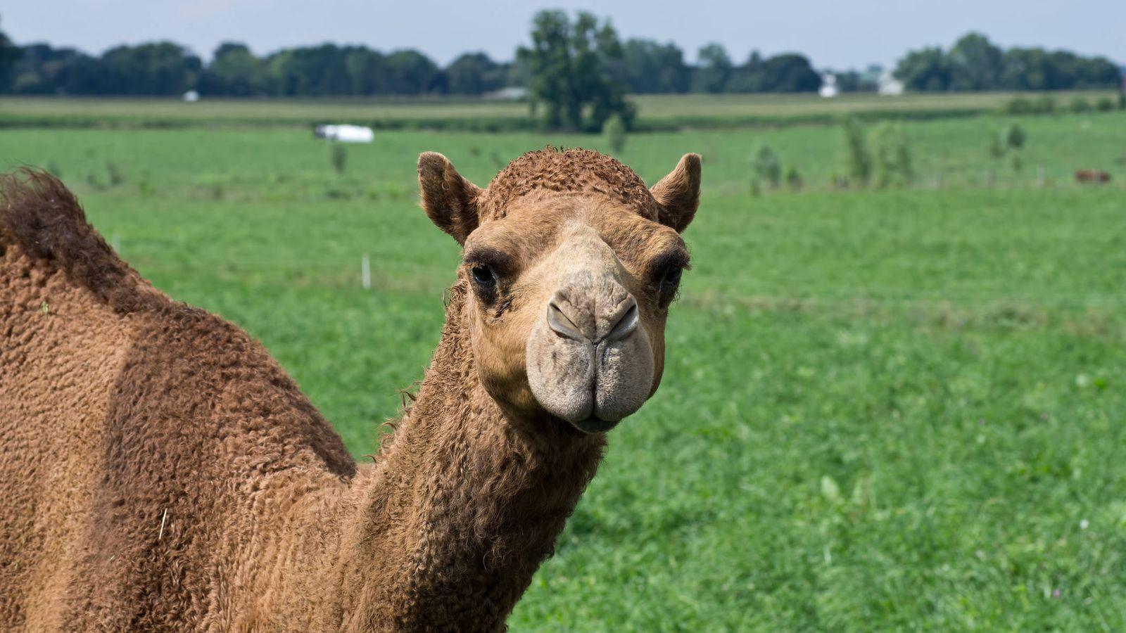 Foto: Un alimento desconocido, la leche de camello. (iStock)