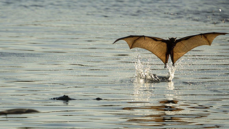 Foto: Pequeños zorros rojos voladores, una especie de murciélago. Foto: EFE GLENN CAMPBELL