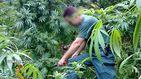 Policía y Guardia Civil no dan abasto con el cannabis: 1,4 millones de plantas incautadas