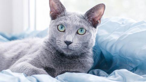 Estas son las razas de gatos más buscadas en España