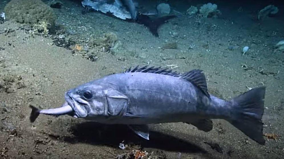 Foto: Científicos del NOAA descubren a un pez de dos metros comiéndose a un tiburón. (CC/NOAA)