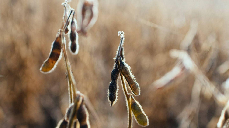 Los científicos llevaron a cabo su experimento con la planta de la soja. Unsplash
