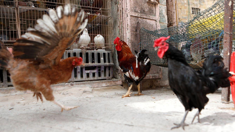 El mundo al revés: un grupo de gallinas mata a un zorro a picotazos