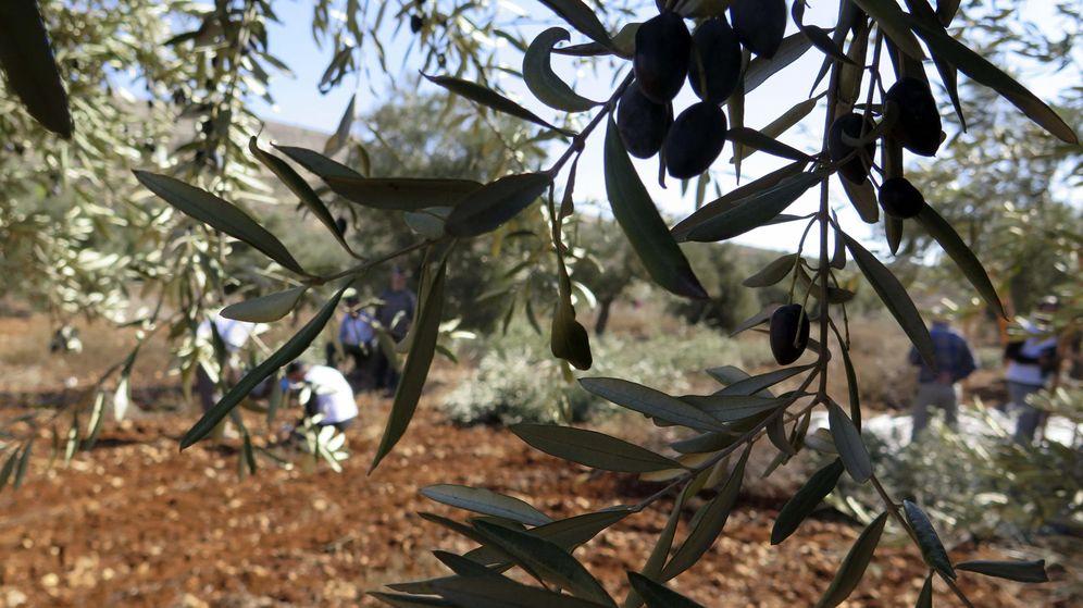 Foto: Jornaleros recogen olivas. (EFE)