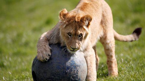 Un cachorro de león juega con una pelota en el parque Woburn