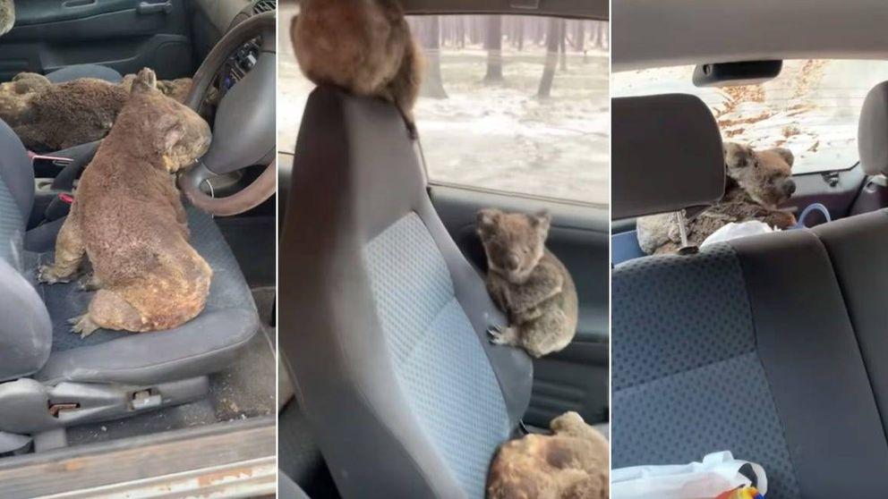 Dos jóvenes australianos y su coche, la brigada de rescate de los koalas
