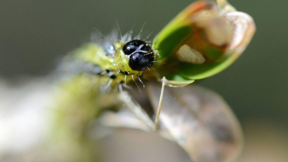 Foto: Oruga de una polilla del árbol de boj en Friburgo. (EFE)