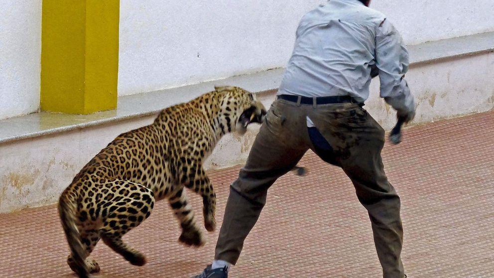 Un leopardo se cuela en un colegio de la India y hiere a tres personas