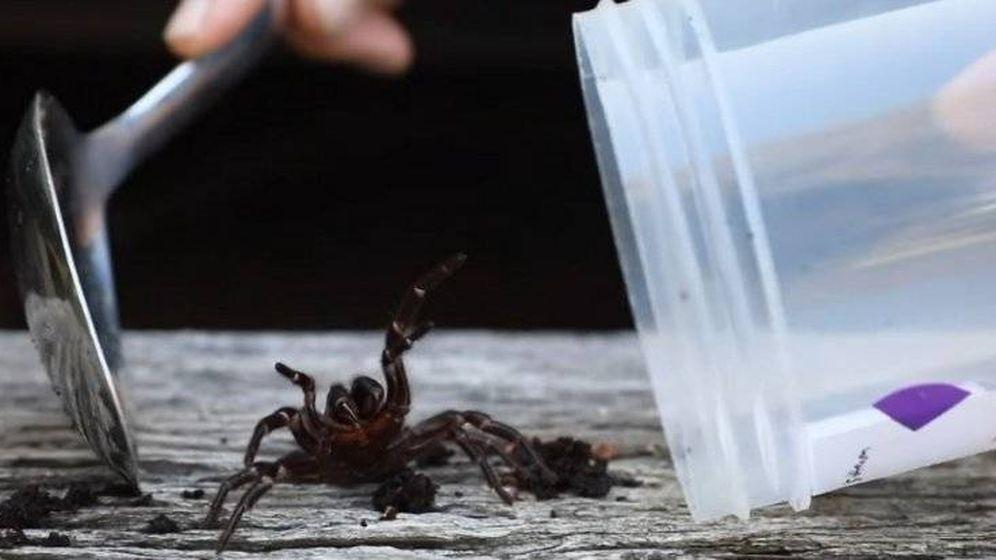Foto: Una araña de tela de embudo siendo atrapada. Foto: Youtube